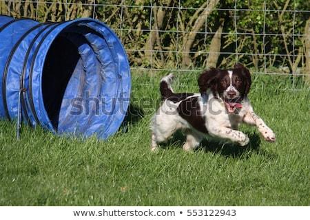 Photo stock: A Working Type English Springer Spaniel Pet Gundog Doing Agility