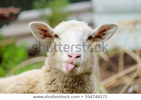 moutons · printemps · mère · tête · animaux - photo stock © thp