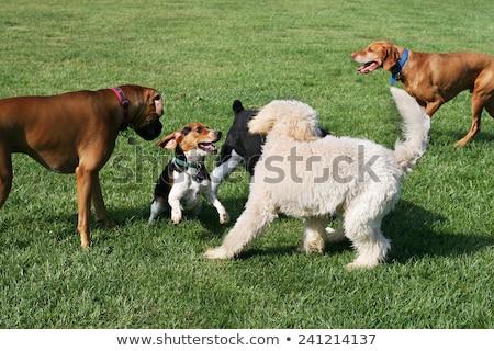 Büyük köpek park alan çim Stok fotoğraf © rhamm
