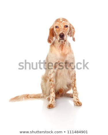 Sad english setter portrait Stock photo © Ximinez