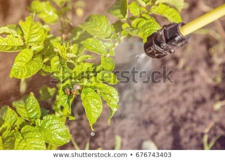 Spraying Insecticide on Colorado Potato Beetle Bugs Larvas Stock photo © stevanovicigor