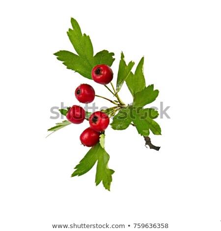 Hawthorn berries isolated Stock photo © jordanrusev