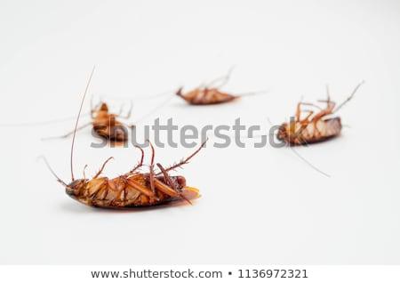 ölü hamamböceği yalıtılmış beyaz geri yüzey Stok fotoğraf © giko