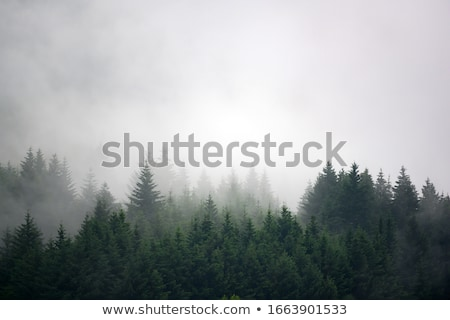 foggy weather in the forest stock photo © kotenko