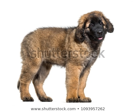 Leonberger portrait with white background in studio stock photo © vauvau
