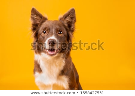mixed breed black funny dog sitting and smiling in studio stock photo © vauvau