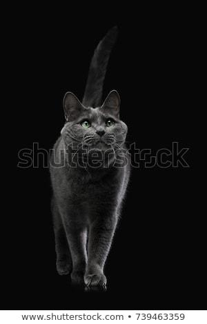 Stock fotó: Szép · házimacska · sötét · stúdió · fekete · szín