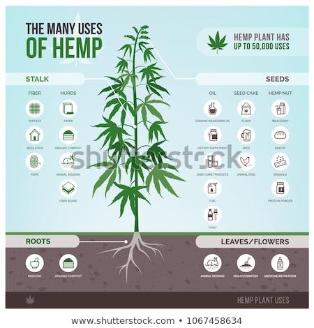 cannabis plant stock photo © hamik