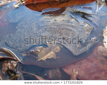 isolated closeup of brown common toad stock photo © taviphoto