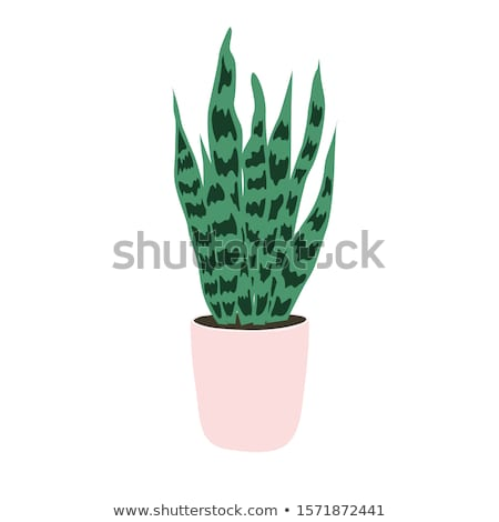 Cactus and succulent illustrations in a flat style isolated on a white background. Stock photo © RAStudio