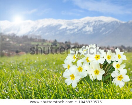 Perennial primrose or primula in the spring garden. Spring primr Stock photo © Virgin