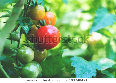 Some tomatoes on tomato plants. Stock photo © IS2