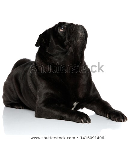 cute and curious black boxer lying looks up to side Stock photo © feedough