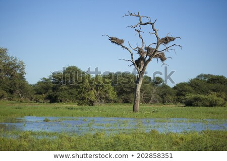 Large leafless tree in lake with birds nest Stock photo © lovleah