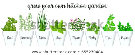 Sage Banner of Plant in Pot Vector Illustration Stock photo © robuart