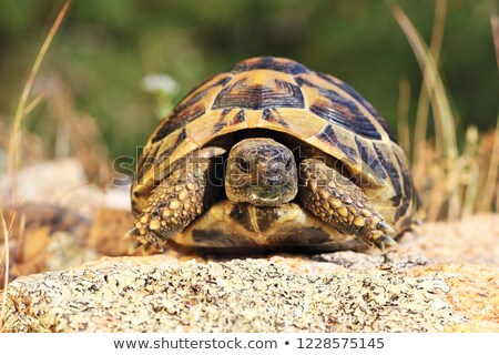 greek turtoise, full length animal in natural environment Stock photo © taviphoto