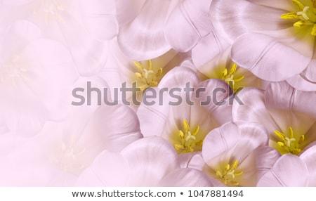 virágcsokor · rózsaszín · tulipánok · zöld · edény · izolált - stock fotó © neirfy