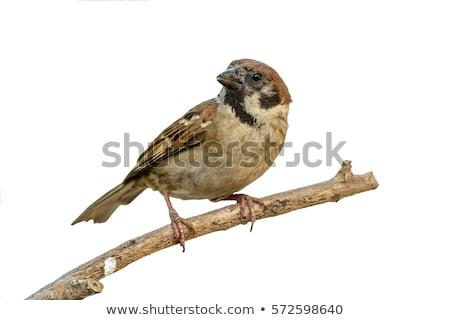 Eurasian Tree Sparrow sitting on a twig Stock photo © manfredxy