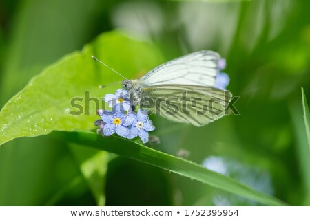 Butterfly feeding on little white flower Stock photo © Ansonstock