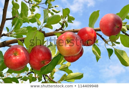 Rosso ramo mela cielo blu giallo albero Foto d'archivio © bobkeenan