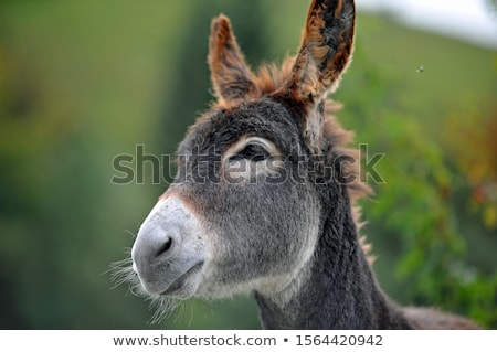 head donkey Stock photo © morrbyte