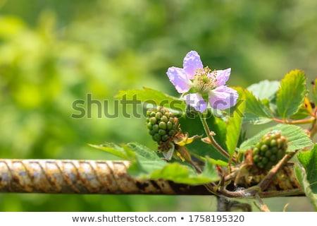 Stock fotó: Virágzó · gyümölcsfa · tavasz · fa · friss · rózsaszín
