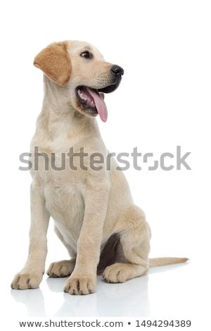 lado · labrador · cachorro · vista · lateral · negro · labrador · retriever - foto stock © feedough