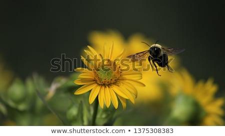 Abelha margarida céu beleza verão laranja Foto stock © SSilver