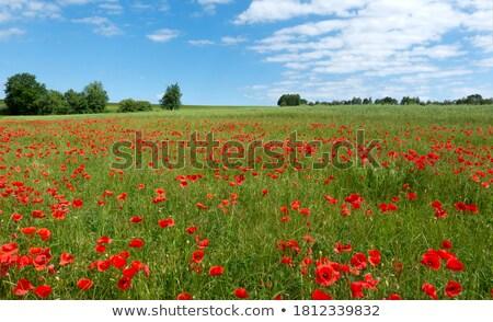 Yeşil çayır haşhaş kırmızı bahar Stok fotoğraf © justinb