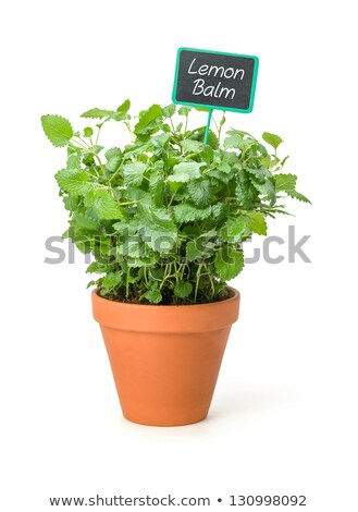 Lemon balm in a clay pot with a wooden label Stock photo © Zerbor