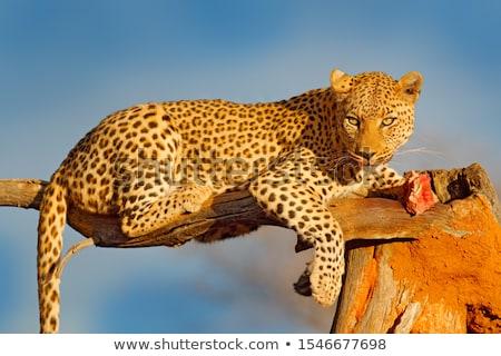 Leopard with a carcass Stock photo © TanArt