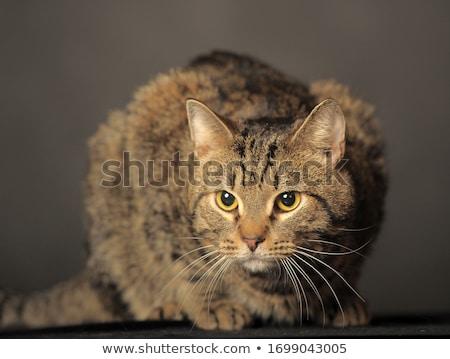 gray striped cat Stock photo © taden
