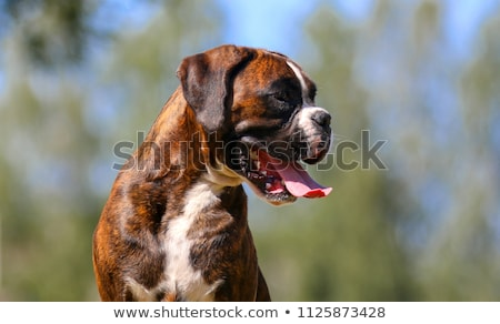 Brindle Colored Pedigree Boxer Stock photo © rcarner