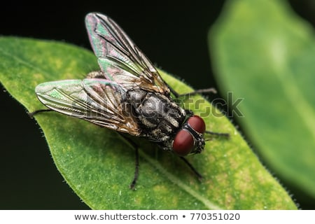 House fly Stock photo © Nneirda