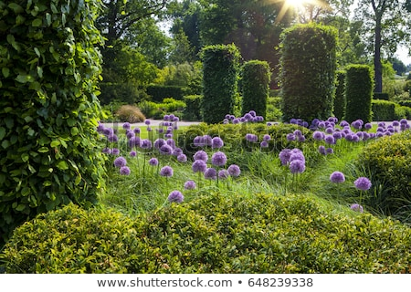 Ornamental English garden hedges stock photo © Bertl123