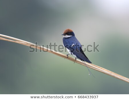 Wire-Tailed Swallow Stock photo © davemontreuil