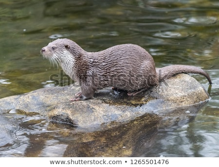 cute otters   eurasian otter lutra lutra stock photo © lightpoet