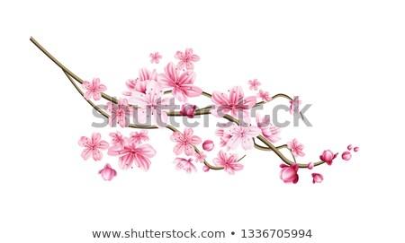 East Asian cherry Stock photo © joker