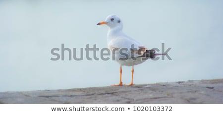 Retrato branco gaivota verão dia natureza Foto stock © OleksandrO