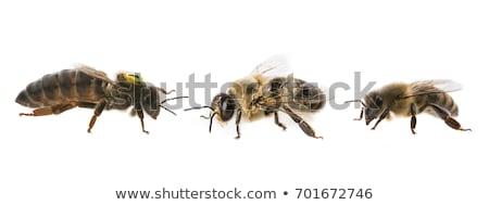queen bee Stock photo © lineartestpilot