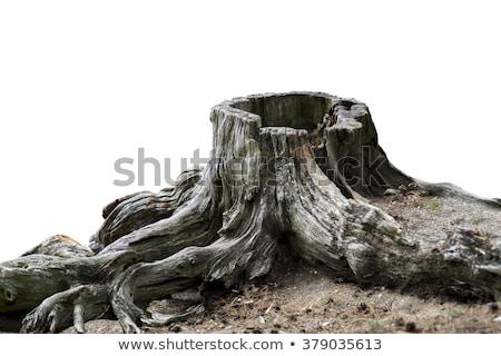 Weathered stump Stock photo © olandsfokus
