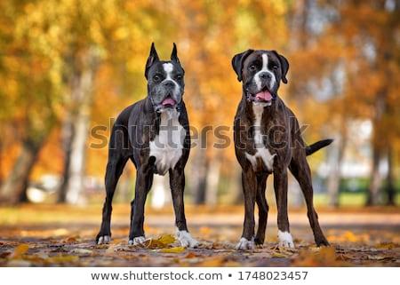 Boksör köpek beyaz kahverengi siyah göz Stok fotoğraf © mariephoto