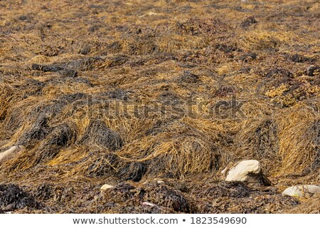 Plantations of seaweed, Algae at low tide Stock photo © artush