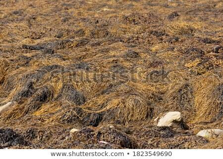 algues · plage · faible · marée · bali · île - photo stock © artush