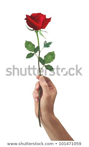 Rózsaszín rózsa virág kéz férfiak izolált fehér Stock fotó © tetkoren