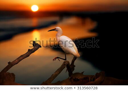 The Snowy Egret by the Water at Malibu Beach in August Stock photo © user_9323633