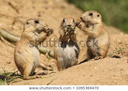 préri · kutya · eszik · természetes · élőhely - stock fotó © klinker