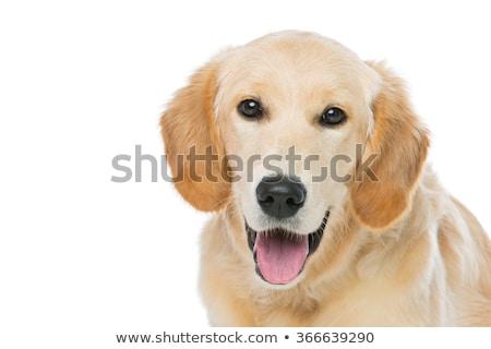 Genç golden retriever köpek oturma yalıtılmış beyaz Stok fotoğraf © svetography