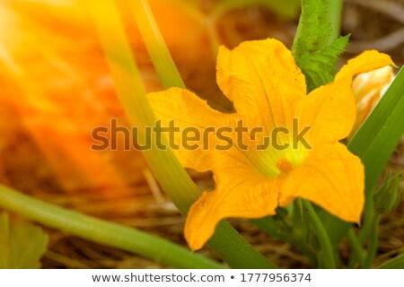 Közelkép lövés cukkini virág fekete cukkini Stock fotó © dla4