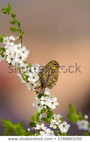 сидят веточка дерево Сток-фото © manfredxy